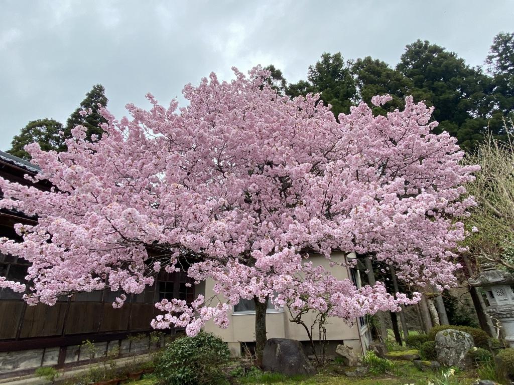 移動販売 八重桜